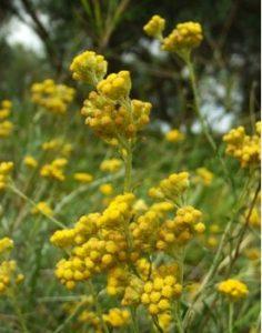 fleurs hélicryse