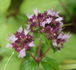 fleurs origan