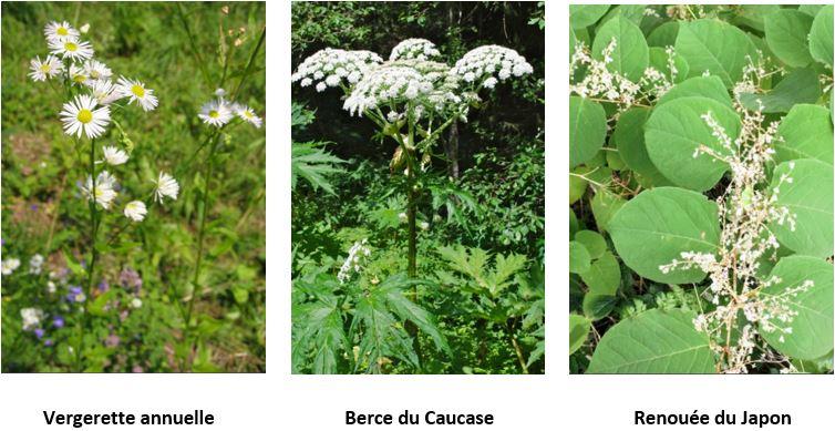 plantes envahissantes
