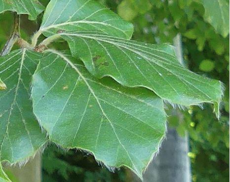 feuilles hêtre