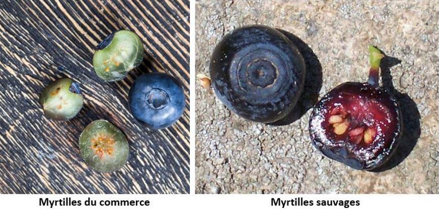 bleuets et myrtilles