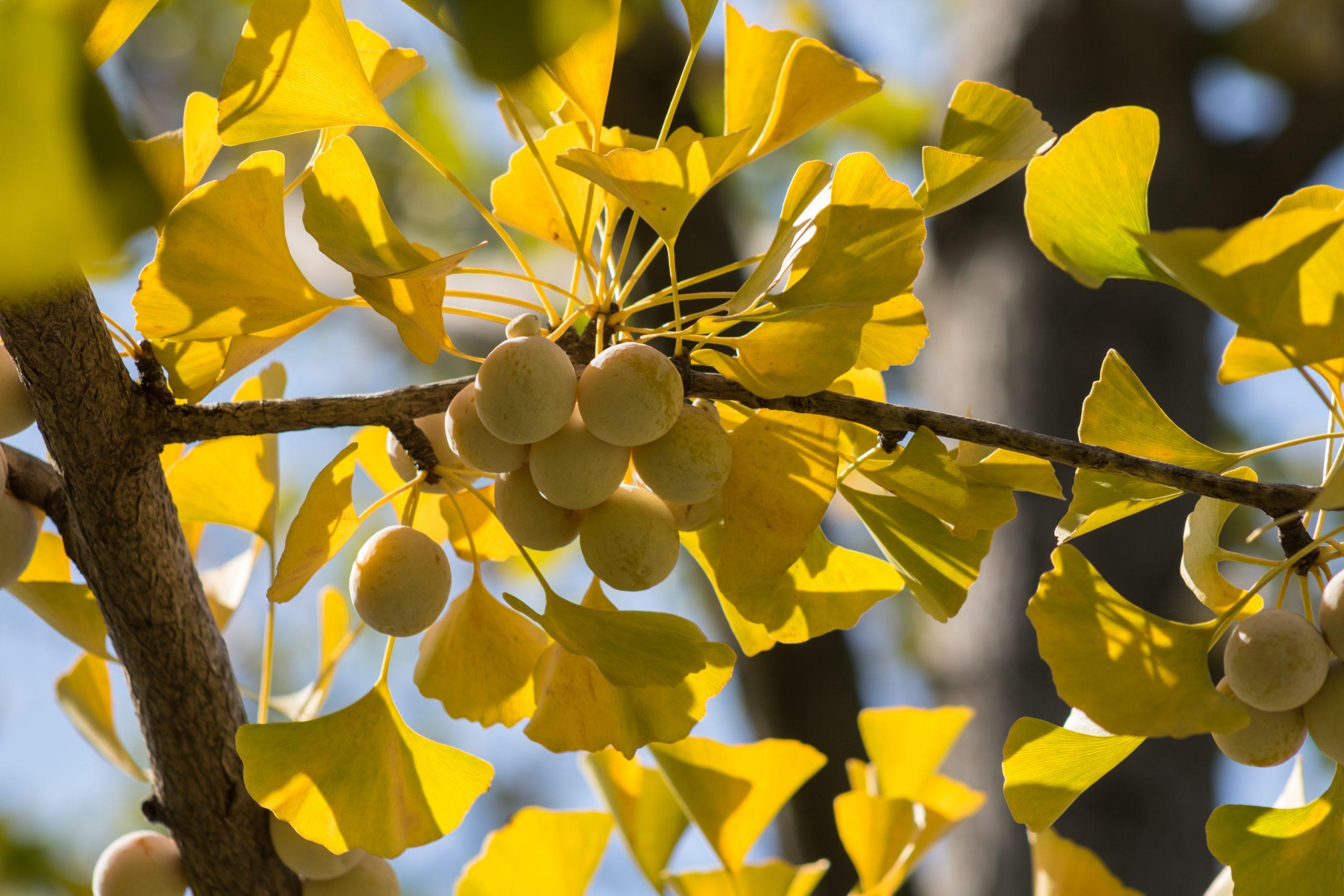 arbre feuilles et fruits ginkgo