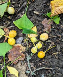 fruits ginkgo au sol